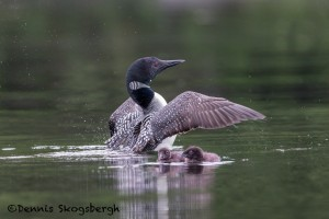 4462 Great Northern Loon (Gavia immer) and Chicks, Algonquin Park, Ontario, Canada