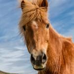 4467 Icelandic Horse