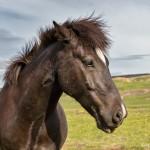 4468 Icelandic Horse