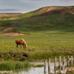 4469 Icelandic Horse