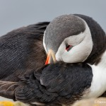 4484 Atlantic Puffin (Fratercula arctica) with Breeding Plumage, Latrabjarg Bird Cliffs, Iceland