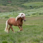 4497 Icelandic Horse