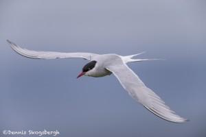 4521 Arctic Tern (Sterna paradisaea), Flatey Island, Iceland