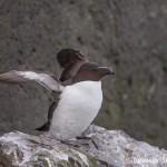 4524 Razorbill (Alca torda), Latrabjarg Bird Cliffs, Iceland