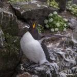 4525 Razorbill (Alca torda), Latrabjarg Bird Cliffs, Iceland