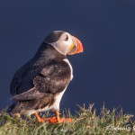 4526 Atlantic Puffin (Fratercula arctica) with Breeding Plumage, Latrabjarg Bird Cliffs, Iceland