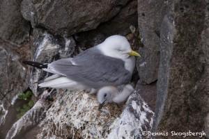 4529 Kittywake, (Rissa tridactyla), Latrabjarg Bird Cliffs, Iceland