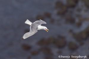 4532 Kittywake, (Rissa tridactyla), Latrabjarg Bird Cliffs, Iceland