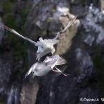 4533 Northern Fulmars (Fulmar glacialis), Latrabjarg Bird Cliffs, Iceland