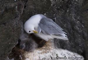 4534 Kittywake and Chick, (Rissa tridactyla), Latrabjarg Bird Cliffs, Iceland