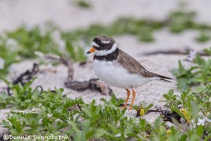 4535 Great Ringed Plover (Charadrius hiaticula), Latrabjarg, Iceland
