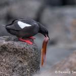 4538 Black Guillemot (Cepphus grylle), Flatey Island, Iceland