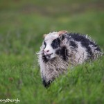 4539 Icelandic Sheep, Flatey Island