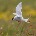 4540 Arctic Tern (Sterna paradisaea), Flatey Island, Iceland