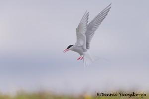 4541 Arctic Tern (Sterna paradisaea), Flatey Island, Iceland