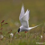 4550 Arctic Tern Bringing Food for the Nestling, Flatey Island, Iceland