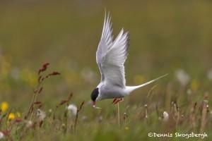 4550 Arctic Tern Bringing Food for the Nestling, Flatey Island, Iceland