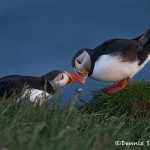 4552 Atlantic Puffin (Fratercula arctica) with Breeding Plumage, Latrabjarg Bird Cliffs, Iceland