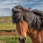 4554 Icelandic Horse