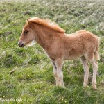 4555 Icelandic Foal