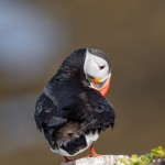 4556 Atlantic Puffin (Fratercula arctica) with Breeding Plumage, Latrabjarg Bird Cliffs, Iceland