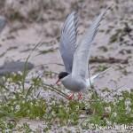 4561 Arctic Tern Nest (Sterna paradisaea), Latrabjarg, Iceland