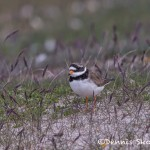 4562 Great-Ringed Plover (Charadrius hiaticula), Latrabjarg, Iceland