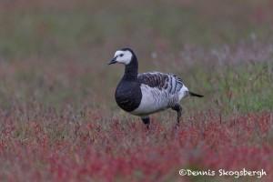 4565 Barnacle Goose (Branta leucopsis), Iceland