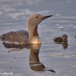 4566 Red-throated Loon (Gavia stellata), Iceland