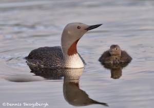 4568 Red-throated Loon (Gavia stellata) and Chick, Iceland