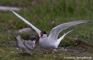 4570 Arctic Tern and Chick (Sterna paradisaea), Iceland