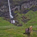 4571 Icelandic Horses