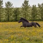 4572 Icelandic Horse