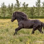 4573 Icelandic Horse