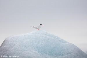 4580 Artic Tern, Jokulsarlon Glacier Lagoon, Iceland