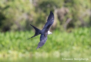 4584 Swallow-tailed Kite (Elanoides forficatus), Florida