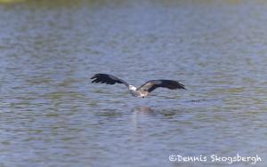 4587 Swallow-tailed Kite (Elanoides forficatus), Florida