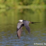 4588 Swallow-tailed Kite (Elanoides forficatus), Florida