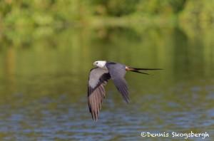 4588 Swallow-tailed Kite (Elanoides forficatus), Florida