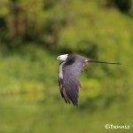 4589 Swallow-tailed Kite (Elanoides forficatus), Florida
