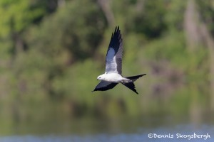4591 Swallow-tailed Kite (Elanoides forficatus), Florida