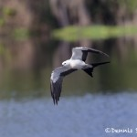 4592 Swallow-tailed Kite (Elanoides forficatus), Florida