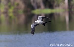 4592 Swallow-tailed Kite (Elanoides forficatus), Florida