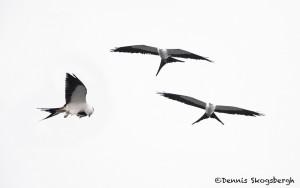 4596 Swallow-tailed Kites (Elanoides forficatus), Florida