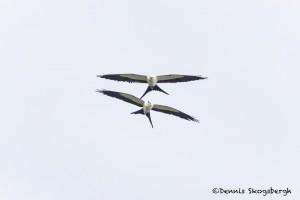 4597 Swallow-tailed Kites (Elanoides forficatus), Florida