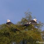 4598 Swallow-tailed Kites (Elanoides forficatus), Florida