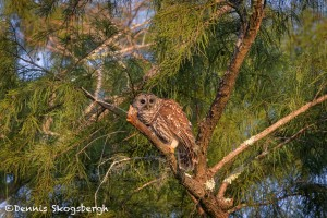 4599 Barred Owl (Strix varia), Florida