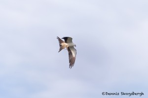 4601 Swallow-tailed Kite (Elanoides forficatus), Florida