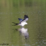 4602 Swallow-tailed Kite (Elanoides forficatus), Florida