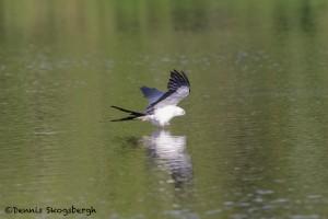 4602 Swallow-tailed Kite (Elanoides forficatus), Florida